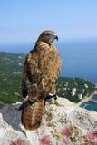 Der Falke betrachtet uns und sitzt oben auf Berg Stockbild