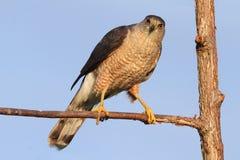 Der Falke des Fassbinders speist auf seinem Opfer Stockfotografie