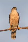Der Falke des Fassbinders speist auf seinem Opfer Lizenzfreie Stockbilder