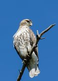 Der Falke des jugendlichen Fassbinders Stockfoto