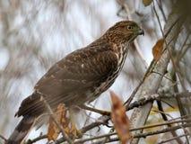 Der Falke des jugendlichen Fassbinders - Accipiter cooperii Lizenzfreie Stockfotografie
