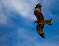 Der Falke im blauen Himmel schwebt seine Flügel Lizenzfreie Stockfotos