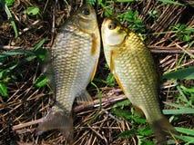 Der Fang eines Fischens. Sommer Stockfotografie