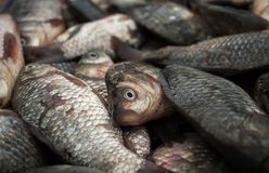 Der Fang von kleinen Fischen Fisch stirbt ohne Wasser Stockbilder