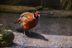 Der Fasanvogel Lizenzfreie Stockfotos