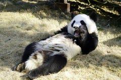 Der faule große Panda isst den Bambus Lizenzfreies Stockbild