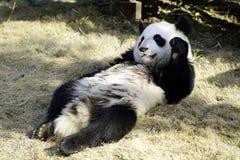 Der faule große Panda isst den Bambus Lizenzfreie Stockbilder