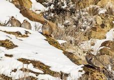 Chukar Rebhühner auf schneebedecktem Abhang Lizenzfreie Stockfotografie
