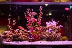 Der Fisch schwimmt in ein Aquarium Lizenzfreies Stockbild