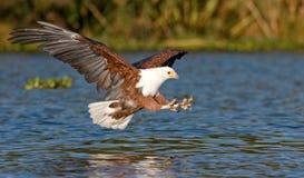 Der Fischadler, der niedrig über das Wasser von See Naivasha und von Greifern fliegt, dehnte heraus mit Greifern für einen Augenb Stockfotografie