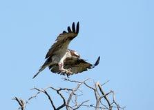 Der Fischadler mit einer verletzten Tatze sitzt auf einem Baum Lizenzfreies Stockbild