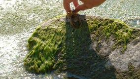 Der Fischer gibt dem Willen der Panzerkrebse auf einem Stein nahe dem Wasser mit Meerespflanze frei Astacus Astacus bewegt sich z stock video