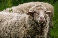 Der flüchtige Blick des Schafs Stockfotos