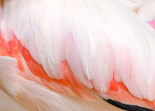 Der Flügel des Flamingos Stockbilder