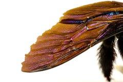 Der Flügel einer schwarzen Hummel unter einer großen Zunahme Lizenzfreie Stockbilder