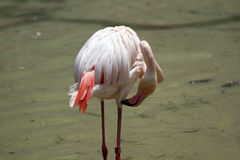 Der Flamingo Stockfoto