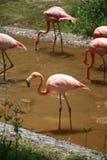 Der Flamingo, alias der rote Fasan, ist an Größe ähnlich; der Mund ist kurz und, das mittlere Teil des oberen Munds stark stockbilder
