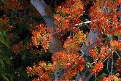 Der Flammen-Baum der Baum von günstigem Lizenzfreie Stockbilder