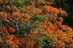 Der Flammen-Baum der Baum von günstigem Lizenzfreies Stockfoto
