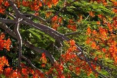 Der Flammen-Baum der Baum von günstigem Stockfoto