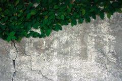 Der Flauschaufstieg auf der alten Betonmauer Lizenzfreies Stockfoto