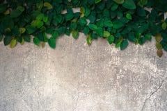 Der Flauschaufstieg auf der alten Betonmauer Lizenzfreie Stockfotografie
