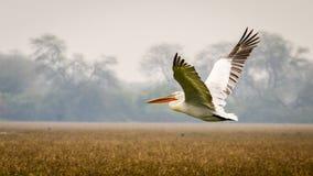 Der Fliegen-Pelikan Lizenzfreie Stockfotos