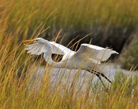 Der fliegende weiße Reiher lizenzfreies stockfoto
