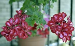 Der Florabuschschönheit des Pelargonienblumenblattpetunienbaumfarbrhododendronblattes blühendes Blumenflowe anlage des lila roten Lizenzfreie Stockfotos