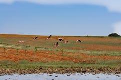 Der Flug der Flamingos Stockfotografie