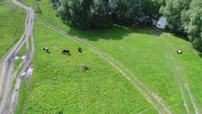 Der Flug des Brummens über den Feldern Wiese mit Kühen Das Dorf nahe bei dem Fluss stock footage