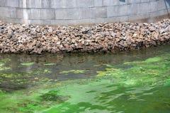 Der Fluss wird in den Grünalgen verunreinigt Lizenzfreies Stockbild