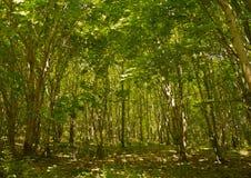 der frühe Wald Lizenzfreies Stockfoto