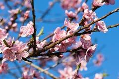 Der Frühling, der oben vom schönen rosa Blühen des Nektarinenbaums nah ist, blüht mit den Blumenblättern Stockbild