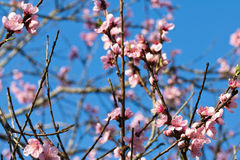 Der Frühling, der oben vom schönen rosa Blühen des Nektarinenbaums nah ist, blüht mit den Blumenblättern Lizenzfreie Stockfotografie