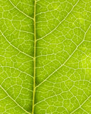 åder för 02 leaf Arkivfoton