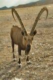 Der freie Einwohner der Wüste. Stockfotos