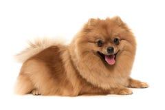 Der freundliche Spitzhund Stockfoto