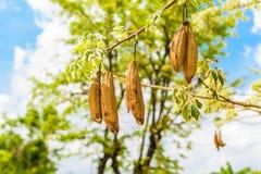 Der frische Hülsen Bombax, der am stacheligen Baum, Bombax Ceiba, kap hängt Lizenzfreies Stockbild