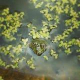 Der Frosch Stockbild