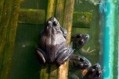 Der Frosch, der, Landwirt in Thailand bewirtschaftet, wenden den natürlichen Ideenaffen an Stockfotografie