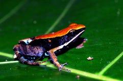 Der Froschpfeil Stockfotografie