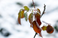 Der Frost auf den Blättern Gefrorenes Blatt unter dem Schnee Stockfoto