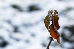 Der Frost auf den Blättern Gefrorenes Blatt unter dem Schnee Stockbild