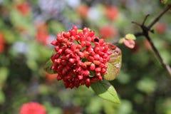 Der Frucht Viburnum Lantana Ist ein Grün zuerst und dreht Rot, dann schwärzt schließlich Wayfarer oder wayfaring Baum ist a Stockbild