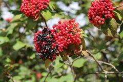 Der Frucht Viburnum Lantana Ist ein Grün zuerst und dreht Rot, dann schwärzt schließlich Wayfarer oder wayfaring Baum ist Spezies Lizenzfreie Stockfotos
