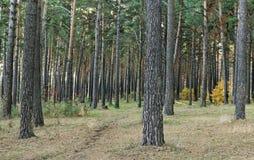 Der Fußweg im Kiefernwald Lizenzfreies Stockfoto