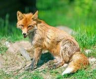 Der Fuchs auf einer Lichtung wirft für den Fotografen auf Stockfoto