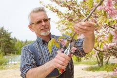 Der Gärtner schneidet die Niederlassungen eines blühenden Baums stockbilder