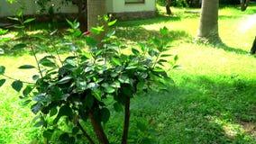Der Gärtner wässert das Gras in einem grünen Garten stock footage